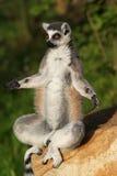 замкнутое кольцо обезьяны lemur Стоковое Фото