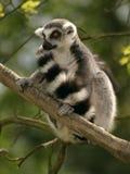 замкнутое кольцо обезьяны lemur Стоковые Фотографии RF