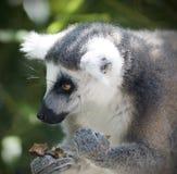 замкнутое кольцо портрета lemur Стоковые Изображения RF