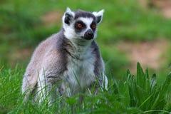 замкнутое кольцо портрета lemur Стоковое Изображение