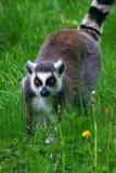 замкнутое кольцо портрета lemur Стоковое фото RF