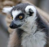 замкнутое кольцо 6 lemur Стоковая Фотография RF
