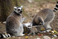 замкнутое кольцо lemur новичка Стоковое Изображение RF