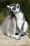 замкнутое кольцо lemur Стоковое Фото
