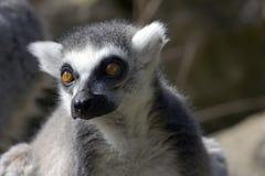 замкнутое кольцо lemur catta Стоковая Фотография