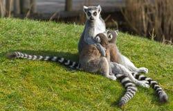 замкнутое кольцо lemur catta Стоковое Изображение RF