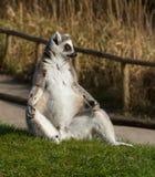 замкнутое кольцо lemur catta Стоковое Фото
