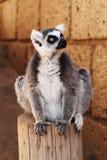 замкнутое кольцо обезьяны lemur Стоковые Изображения