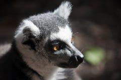 замкнутое кольцо lemur Головной крупный план лемура кота Лемур Maki, Стоковые Изображения RF