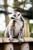 замкнутое кольцо lemur Стоковая Фотография