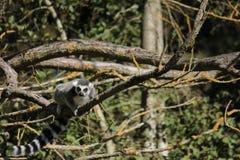 замкнутое кольцо lemur Стоковое Изображение RF