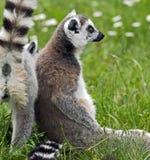 замкнутое кольцо lemur Стоковые Фото