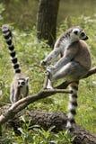 замкнутое кольцо lemurs Стоковое фото RF