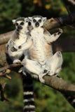 замкнутое кольцо lemurs Стоковые Фотографии RF