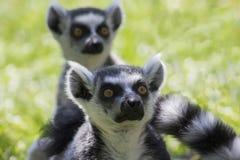 замкнутое кольцо lemurs стоковая фотография
