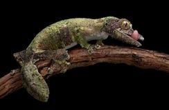 замкнутое мшистое листьев gecko стоковое фото rf