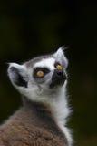 замкнутое окружённое lemur Стоковая Фотография