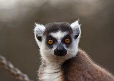 замкнутое усаживание кольца lemur Стоковое Изображение