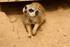 замкнутое худенькое meercat Стоковые Изображения