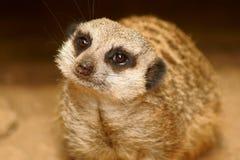 замкнутое худенькое meercat Стоковые Фотографии RF
