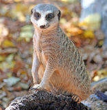 замкнутое худенькое meerkat Стоковые Фотографии RF
