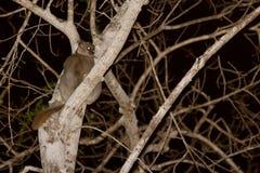 замкнутое sportive lemur красное Стоковые Изображения RF