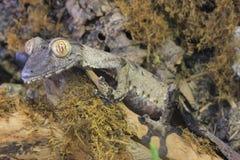 замкнутые листья gecko гигантские стоковые фотографии rf