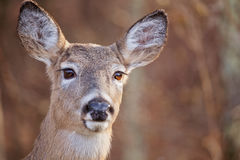 Замкнутый белизной портрет оленей стоковая фотография rf