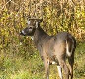 Замкнутый белизной самец оленя оленей Стоковое Изображение