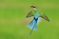 замкнутый едок пчелы голубой Стоковая Фотография