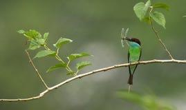 замкнутый едок пчелы голубой Стоковые Фото