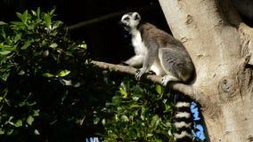 Замкнутый кольцом загорать лемуров Лемур cattaRingtail лемура смотря вокруг в дереве - catta лемура видеоматериал