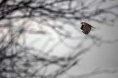 замкнутый красный цвет хоука полета Стоковые Изображения
