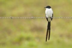 замкнутый отдыхать вилки flycatcher Стоковое Изображение RF
