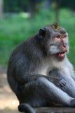 замкнутый macaque сердитого бита длинний смотря Стоковое фото RF