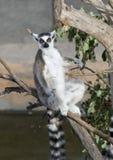 замкнутый sunbathing кольца lemur стоковые фотографии rf