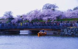 Замок и вишневый цвет Himeji белые стоковое фото rf