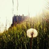 Замок Эдинбурга на заходе солнца с травой и одуванчиком Стоковая Фотография RF