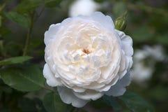 Замок Glamis роза с белыми цветками стоковое изображение rf
