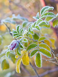 Замороженная ветвь одичалого подняла стоковые изображения rf