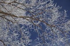 замороженная ветвь осины Стоковые Изображения