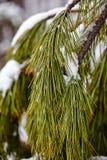 Замороженная ветвь сосенки Стоковое Изображение