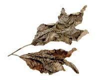 замороженная зима листьев Стоковая Фотография