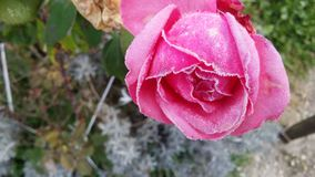 Замороженная зима подняла Стоковое Изображение RF