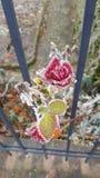 Замороженная красная роза стоковая фотография rf