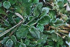 Замороженная одичалая зеленая трава Стоковое Изображение RF