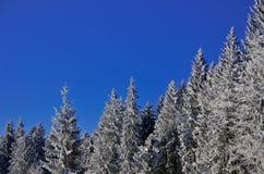 Замороженная пуща сосенок снежка и cristal голубое небо Стоковое Изображение