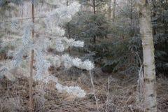 Замороженная рождественская елка над предпосылкой леса Стоковая Фотография RF