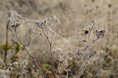 Замороженная сеть пауков Стоковые Фотографии RF