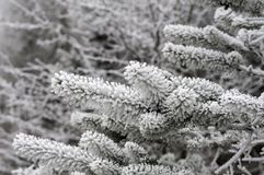 Замороженная сосна для предпосылки зимы Стоковые Изображения RF